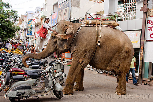 elephant and mahout on his trump, asian elephant, climb, climbing, elephant riding, elephant trump, india, mahout, man, motorcycles, scooters, vespa