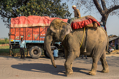 elephant and truck on road (india), asian elephant, elephant riding, india, lorry, mahout, man, road, truck