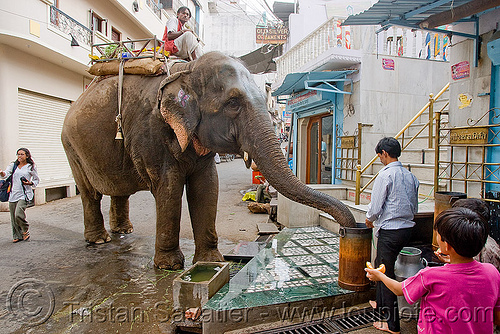 elephant drinking from bucket, asian elephant, bucket, drinking, elephant riding, mahout, man, street, water