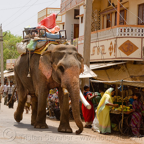 elephant in the street (india), asian elephant, elephant riding, elephant tusks, mahout, man, street