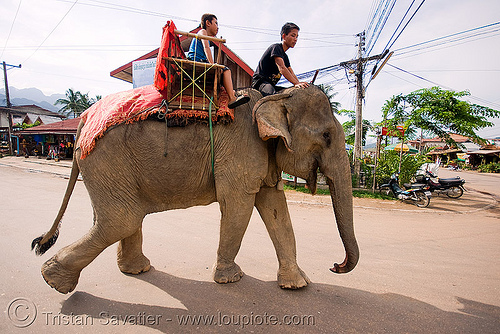 elephant riding, asian elephant, elephant riding, mahout, man, street, vang vieng