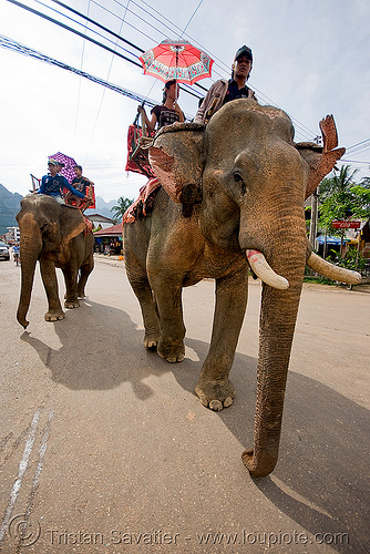 elephant riding - vang vieng (laos), elephants, mahout, man, people, street