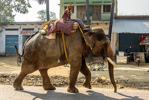 elephant walking on street - mahout (india), asian elephant, elephant riding, mahout, man, road, street