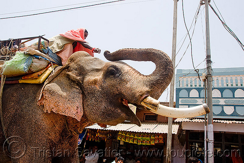 elephant with sawed-off tusks in the street (india), asian elephant, elephant riding, elephant tusks, india, mahout, man