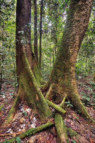 entangled trees, buttress roots, gunung mulu, gunung mulu national park, jungle, plant, rain forest, tree trunks