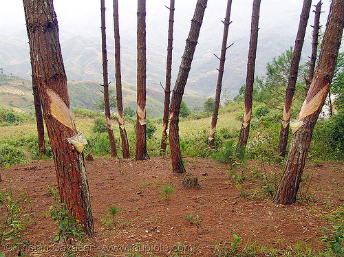 exploiting tree sap - pine trees, forest, pine sap, pine trees, resin, tapping, tree sap, tree trunks