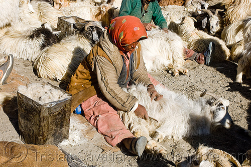 farmer combing goats - pangong lake - ladakh (india), changthangi, comb, combing, farmer, goats, ladakh, pashmina, spangmik