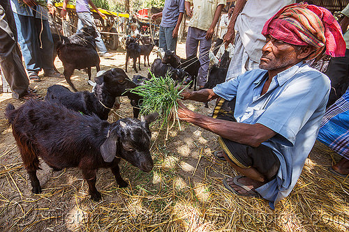 farmer feeding hay to baby goats (india), cattle market, eating, goat kids, headdress, headwear, man, people, west bengal