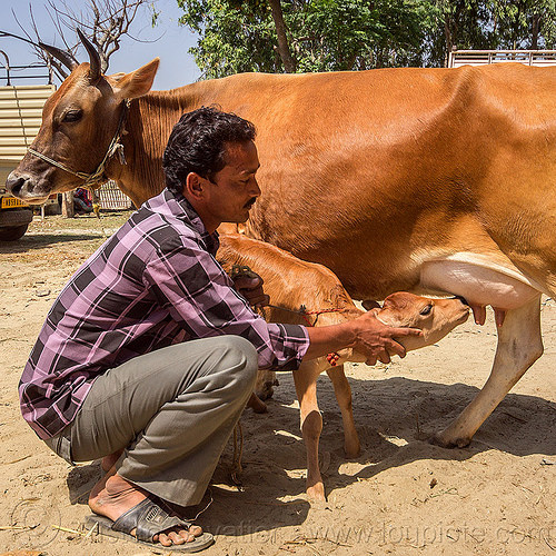 farmer holding calf near cow nipples, baby cow, calf, cattle market, farmer, india, man, nipples, suckling, west bengal