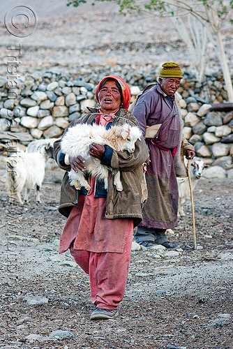 farmer with baby goat - pangong lake - ladakh (india), baby goat, changthangi, farmers, goat kid, india, ladakh, old man, pashmina, road, spangmik, woman