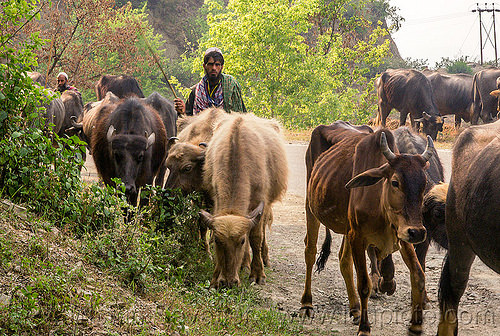 farmers walking their water buffaloes and cows on the road (india), cows, herd, india, man, muslim, road, walking, water buffaloes