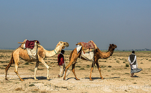 farmers walking with their camels (india), camel muzzle, double hump camels, flood plain, india, men, sand, walking
