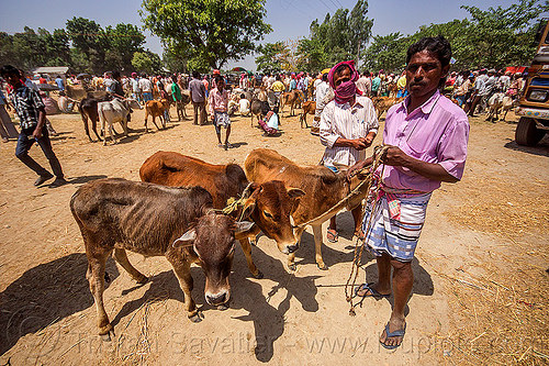 farmers with calves at cattle market (india), baby cow, calf, calves, cattle market, cows, crowd, farmer, india, men, skinny, west bengal