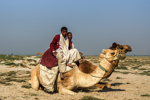 farmers with their camels (india), camel muzzle, double hump camels, flood plain, ganga, india, lying down, men, resting, riding, sand