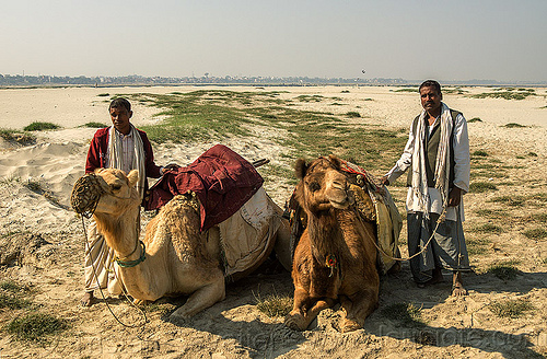 farmers with their camels lying down (india), camel muzzle, double hump camels, flood plain, india, lying down, men, resting, sand
