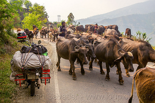 farmers with their herd of water buffaloes and cows on road (india), cows, herd, luggage rack, man, motorbike touring, motorcycle touring, muslim, road, royal enfield bullet, sacks, walking, water buffaloes