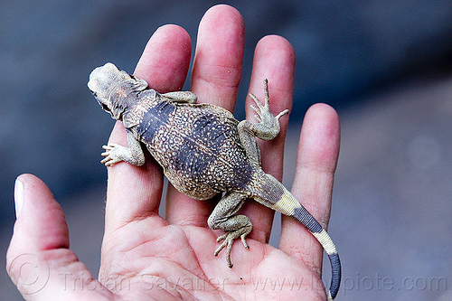 fat lizard in hand - chuckwalla, chuckwalla, death valley, grotto canyon, hand, lizard, sauromalus ater, wildlife