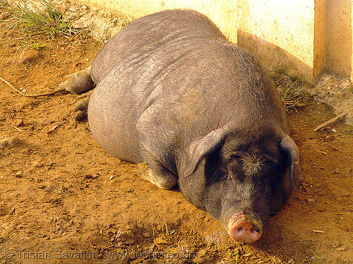 fat pig, black pig, fat, lying down, mèo vạc, resting, sleeping, vietnam