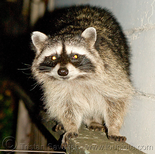 raccoon, coon, mapache, night, nocturnal, procyon lotor, raccoon, urban wildlife