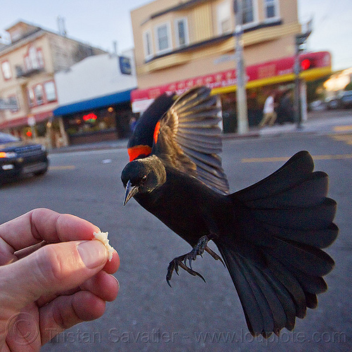 feeding a red-winged bicolored blackbird, agelaius phoeniceus gubernator, bicolored blackbird, black bird, bread crumb, eating, feeding, flying, hand, red-winged blackbird, street, urban wildlife, wild bird, wings