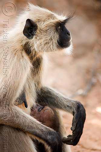 female langur monkey breastfeeding baby (india), baby monkey, black-faced monkey, breastfeeding, gray langur, india, mother, nursing, semnopithecus entellus, suckling, wildlife