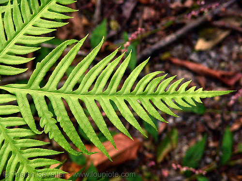 fern - vietnam, cat ba island, cát bà, fern, green, leaf, plant