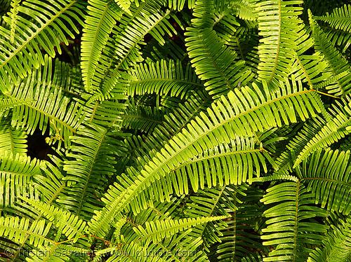 ferns - vietnam, cat ba island, cát bà, fern, green, leaf, plant