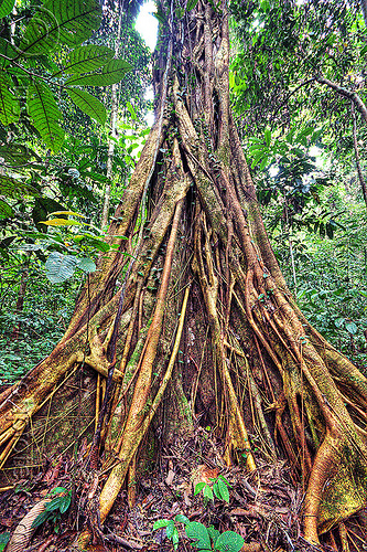 ficus fig tree strangling another tree, borneo, ficus, gunung mulu national park, jungle, malaysia, plant, rain forest, roots, strangler fig, tree, trunk