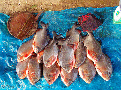 fishes on the market, blue tarp, butcher knife, cao bằng, fish market, fishes, vietnam