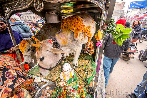 five legged cow (india), 5 legged cow, baby cow, calf, holy cow, legs, offerings, painted, people, polymelia, sai baba, street, varanasi