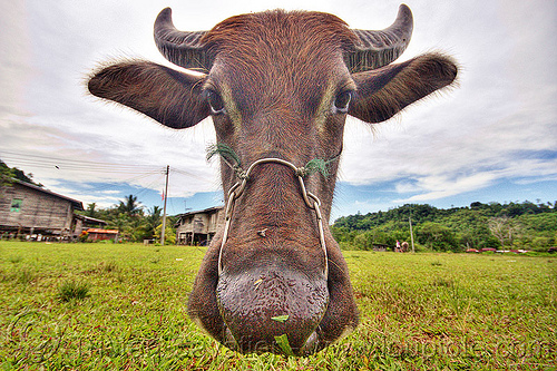 water buffalo cow head, cow nose, cow snout, ears, field, grass, grassland, horns, turf