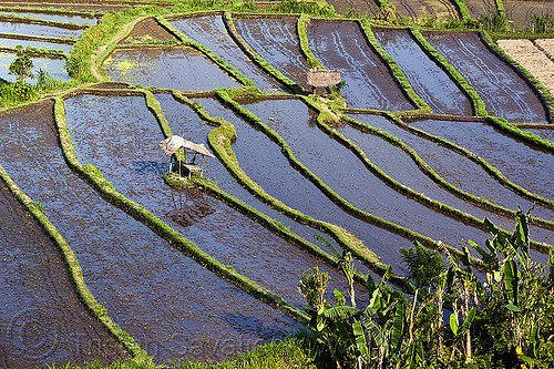 flooded rice paddy fields, agriculture, bali, flooded, rice fields, rice paddy fields, terrace farming, water