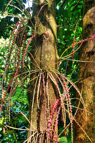 flowers on tropical tree trunk - baccaurea, baccaurea courtallensis, borneo, flowers, gunung mulu national park, inflorescences, jungle, malaysia, plants, rain forest, tree, trunk
