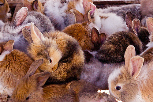 fluffy baby bunny rabbits, animal market, baby rabbit, bunnies, bunny rabbits, fluffy, fuzzy, indonesia, jogja, yogyakarta