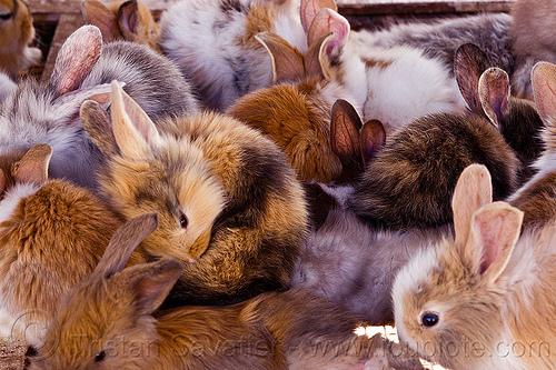 bunny rabbits, animal market, bunnies, java, jogja, jogjakarta, yogyakarta