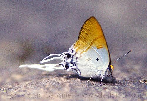 fluffy tit butterfly - zeltus amasa maximinianus (borneo), butterfly, close-up, fluffy tit, gunung mulu national park, insect, macro, wildlife, zeltus amasa maximinianus