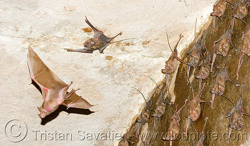 flying bat, bat colony, bats, flying, gwalior, hanging, wildlife
