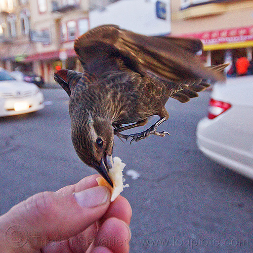 flying bird eating in my hand, bread crumb, eating, feeding, flying, hand, sparrow, urban wildlife, wild bird
