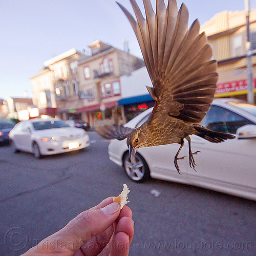 flying bird eating in my hand, bread crumb, eating, feeding, flying, hand, street, urban wildlife, wild bird, wings