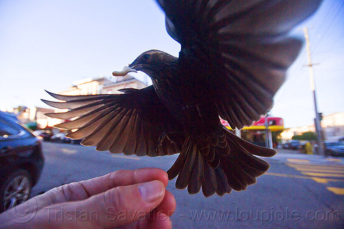 flying bird eating in my hand, bread crumb, eating, feeding, flying, hand, urban wildlife, wild bird