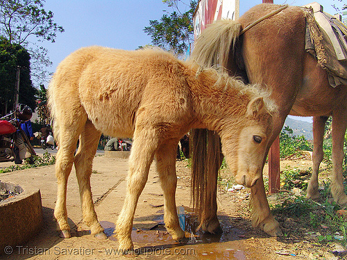 foal, baby horse, foal, mare, vietnamese hmong horse, working animal