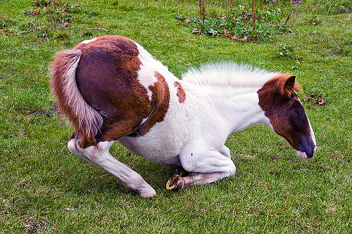 foal kneeling, baby horse, feral, feral horse, field, grassland, lying, lying down, pinto, pinto coat, pinto horse, turf, white and brown coat, wild horse