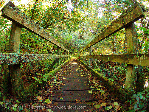 foot-bridge - mossy (steep ravine canyon, san francisco bay area), autumn, bridge, fall, fisheye, footbridge, forest, green, leaves, matt davis trail, moss, mossy, mount tamalpais, perspective, steep ravine, trees, vanishing point, wood