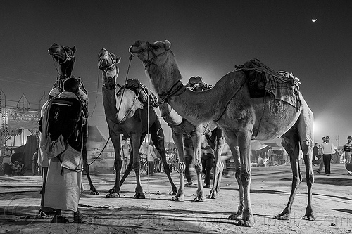 four camels on street at night (india), double hump camels, hindu, hinduism, kumbha mela, maha kumbh mela, men, moon, night, street
