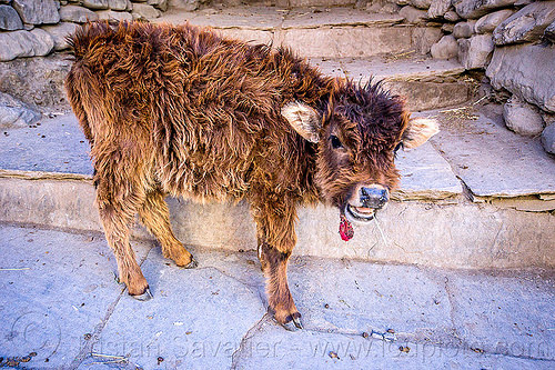 furry little calf - baby cow (nepal), annapurnas, baby cow, calf, fur, furry, kagbeni, kali gandaki valley