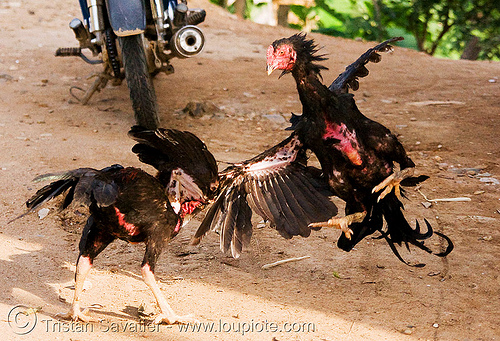 gamecocks roosters fighting - luang prabang (laos), birds, cock fight, cockbirds, cockfighting, fighting roosters, gamecocks, laos, luang prabang, poultry