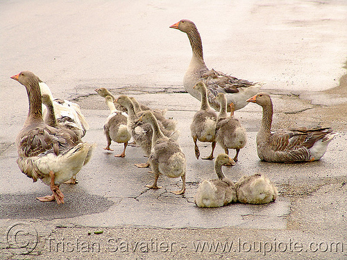 geese, birds, geese, many, poultry, walking, българия