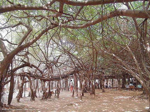 ต้นไทร พิมาย พิมาย - giant banyan tree (near phimai) - thailand, banyan tree, phimai, ต้นไทร, ประเทศไทย, พิมาย