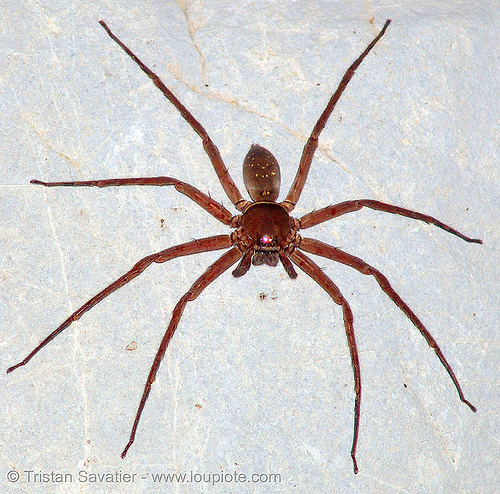 giant crab spider - huntsman spider (vietnam), araneomorphae, cat ba island, cave spider, caving, close up, cát bà, giant crab spider, grotto, halong bay cave, heteropodidae, huntsman spider, natural cave, sparassidae, spelunking, troglobite, vietnam, wildlife