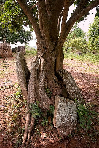 giant stone jars - plain of jars - site 3 - phonsavan (laos), archaeology, broken, giant, phonsavan, plain of jars, stone jars, tree